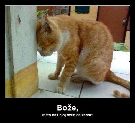 Maca obrijana